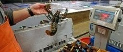 U.S. regulators look to solve lobster bait shortages | Aquaculture Directory | Scoop.it