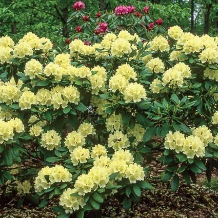 'Capistrano' Rhododendron | Springhill Nursery | Scoop.it