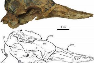 Rare Sperm Whale Fossils Shed Light on Mysterious Family Tree | Oceans and Wildlife | Scoop.it