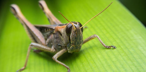 Insects are Helping us Develop the Future of Hearing Aids | Biomimicry | Scoop.it