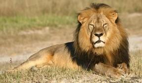 Cecil, la emoción de la caza y la extinción de especies | El Tiempo - El Periódico del Pueblo Oriental | Agua | Scoop.it