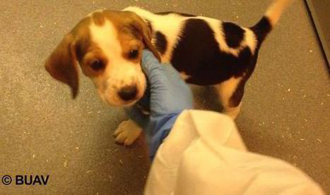 Horrifying BUAV video investigation shows puppies & kittens ripped apart in UK animal lab | UK | News | Daily Express | Nature Animals humankind | Scoop.it