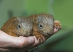 Baby red squirrels abandoned in Dundee saved by dog walker | My Scotland | Scoop.it