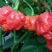 The 2 Million SHU Trinidad Moruga Scorpion Pepper Is the World's Hottest   A Sense of the Ridiculous   Scoop.it