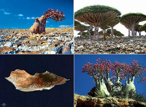 Strange plants of Socotra Island | All about water, the oceans, environmental issues | Scoop.it