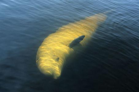 Au Québec, la baleine blanche fait barrage à l'or noir   The Blog's Revue by OlivierSC   Scoop.it