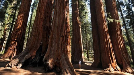World's oldest trees dying due to climate change: study | The Raw ... | Global Climate | Scoop.it