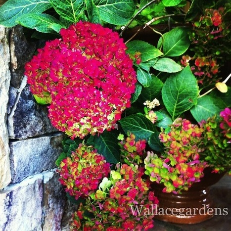 The Hydrangeas and Mrs. Jones. Aren't they the... | Wallace Gardens | Garden Design with Wallace Gardens | Scoop.it