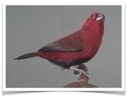 Buy Pet Finch | The Finch Farm | Scoop.it