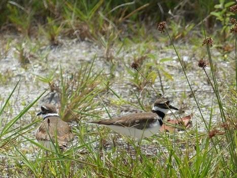Photos d'oiseaux : Pluvier kildir - Charadrius vociferus - Killdeer   Fauna Free Pics - Public Domain - Photos gratuites d'animaux   Scoop.it