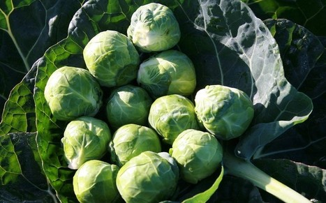 Could Brussels sprouts become 'flatulence free vegetable'? - Telegraph | BBSRC News Coverage | Scoop.it