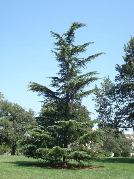 Cedar Wood Oil | Essential Oils, Mint Products, Menthol Crystals | Scoop.it