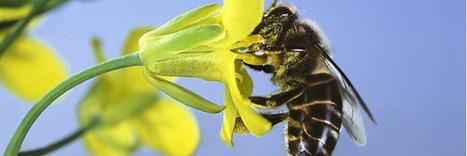 La fin annoncée de l'utilisation des néonicotinoïdes en France | Les colocs du jardin | Scoop.it