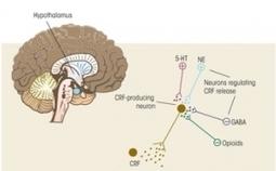 Actu santé : STRESS: Comment dès l'enfance le cerveau se prépare à l'affronter | Management, cohésion d'équipe et Stress | Scoop.it