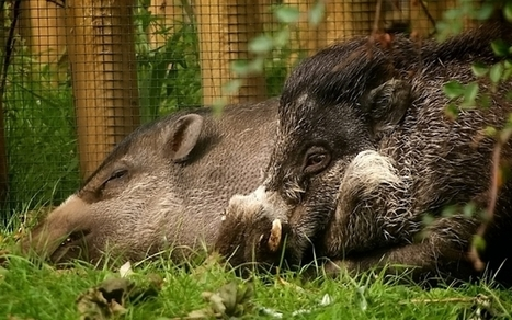 Rare warty pigs are lost when male eats his entire family at Bristol zoo | Quite Interesting News | Scoop.it