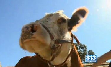 Abused Cow Adopted by the Dog Community (Video) | fitness, health,news&music | Scoop.it