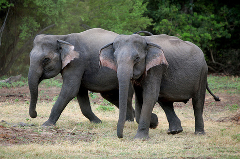 Saving the Sri Lankan Elephant | Warren55 | Scoop.it