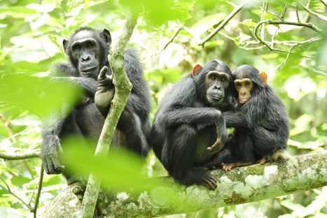 Chimps help farmers 'plant' cacao in Guinea | Sustain Our Earth | Scoop.it