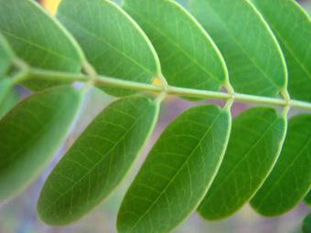 Meu cantinho verde: FLAMBOYANZINHO - Folha | paisajismo | Scoop.it