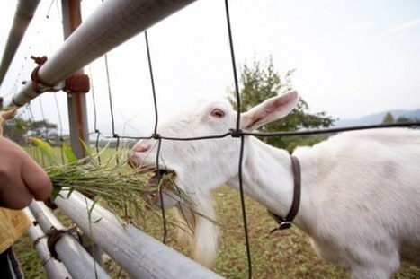 The Weirdest Fainting Goat GIFs | weirdest animated gifs ever | Scoop.it