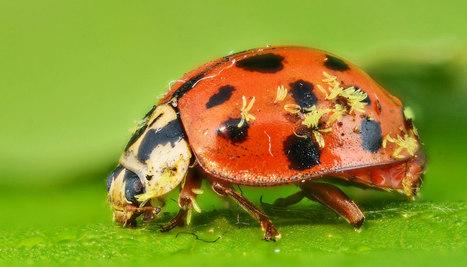 Parasitic fungi attack lots of different bugs - Futurity | De Natura Rerum | Scoop.it