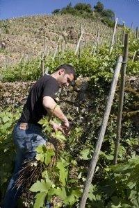 VIN : Condrieu AOC Vallée du Rhône « Le Blog du Mas Bottero | oenologie en pays viennois | Scoop.it