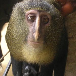 El lesula, nuevo mono africano | Hermético diario | Scoop.it