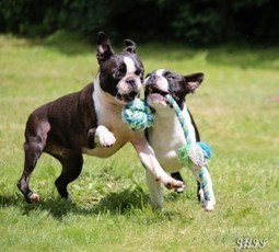 Playing in the Garden! - Lucca and Yodi from Vissenbjerg, Denmark (Photo) | Boston Terrier Dogs | Scoop.it
