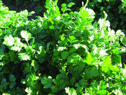 Crop of the Week: Cilantro | Yuma Sun | CALS in the News | Scoop.it