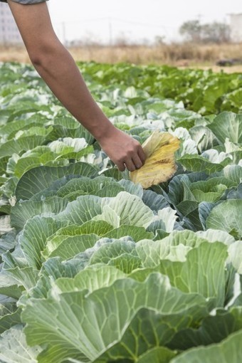 Can You Prune Cabbage: Information On Pruning Cabbage Leaves | Gardening | Scoop.it