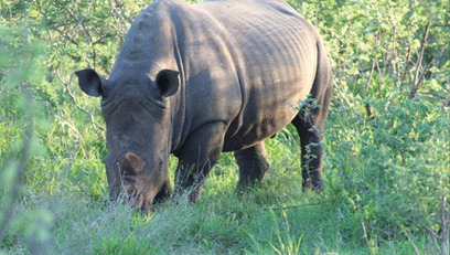 Kruger Park News : Reasons for legalising the rhino horn trade | What's Happening to Africa's Rhino? | Scoop.it