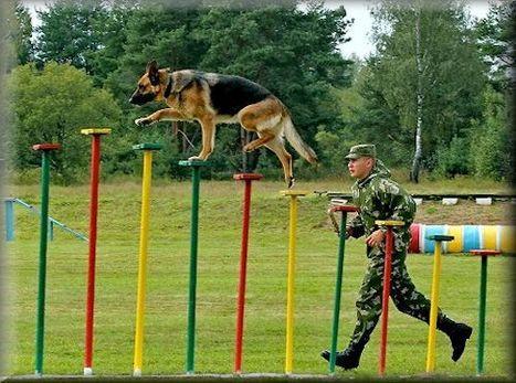 "German Shepherd Designations/Title | ""Professional German Shepherd Puppy Breeder Directory"" | Scoop.it"