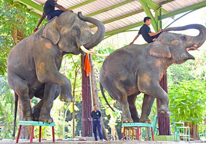 #ignoble #shitty #Yangon Zoo's elephant show 'grotesque', animal rights groups say | Nature Animals humankind | Scoop.it