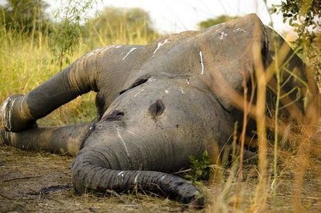 Endangered rhinos and elephants hunted by Facebook poachers | Wildlife and Environmental Conservation | Scoop.it