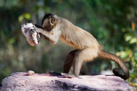 Capuchin monkeys may have taught us how to eat cashew nuts | Aux origines | Scoop.it