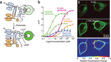 An optimized fluorescent probe for visualizing glutamate neurotransmission   Neuroscience_technics   Scoop.it