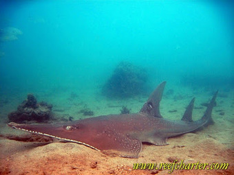 Shovelnose Ray – Species of the Reef | Great Barrier Reef | Cairns, Australia | All about water, the oceans, environmental issues | Scoop.it
