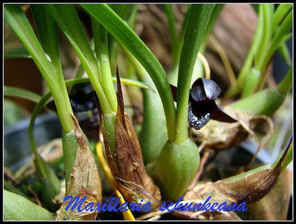 Orquidário Cuiabá » Blog Archive » A orquídea negra – The Black orchid   Orquídeas   Scoop.it