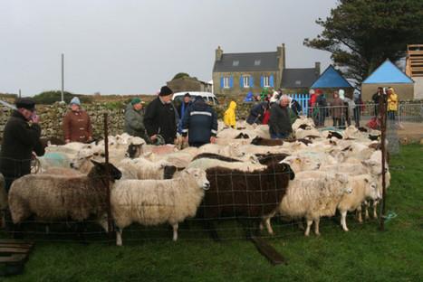 Ouessant La foire aux moutons sur l'île d'Ouessant (reportage) | Îles du Ponant Finistère | Scoop.it