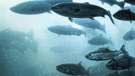 U.S. report advises consumers to 'avoid' some farmed Atlantic Salmon | Aquaculture Directory | Scoop.it