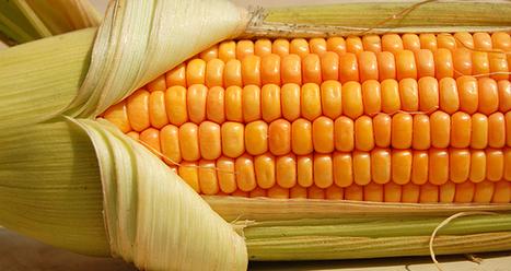 El irrelevante artículo que publicó la revista Nature sobre la disputa científica por el maíz transgénico en México | Agroindustria Sostenible | Scoop.it