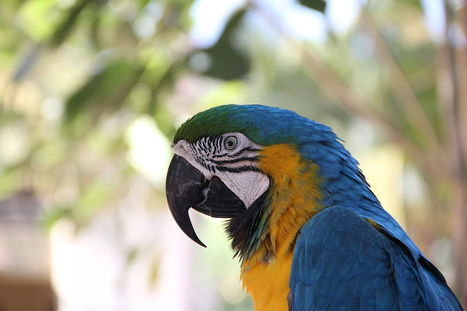 Spix's Macaw Sighting - Conservation Articles & Blogs - CJ | Wildlife and Conservation | Scoop.it