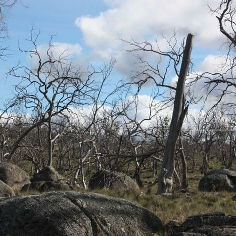 Replacement of dying Eucalyptus trees begins | Australian Plants on the Web | Scoop.it