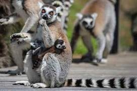 Lemurs at Canberra's National Zoo and Aquarium - The Canberra Times | Ring Tailed Lemurs | Scoop.it