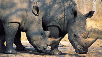 Political solution necessary for rhino poaching war | Poaching & Wildlife Crime | Scoop.it