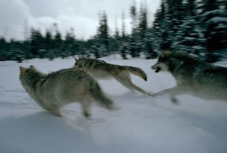 homo lobo... Caccia coi lupi: come l'uomo moderno ebbe la meglio sui Neandertal - National Geographic Italia | Anthropologie | Scoop.it