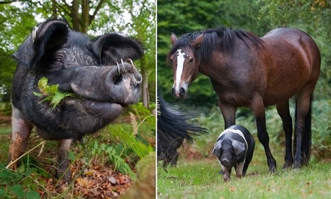 Hogs unleashed into woodland to scoff acorns that are poisonous to famous New Forest ponies | Social Studies | Scoop.it