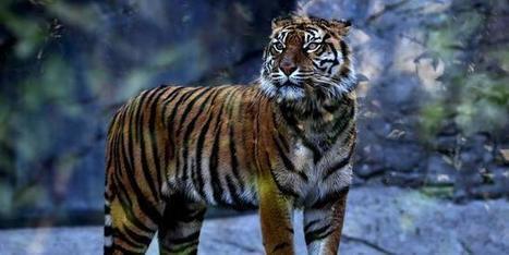 Asso Crepaq: La population de tigres sauvages augmente pour la première fois depuis 1 siècle ! | Scoop des Histoires Naturelles | Scoop.it