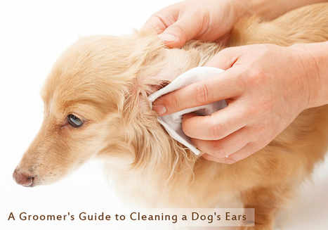 Dog Groomer's Tips For Dog Ear Cleaning | Pet Care | Scoop.it