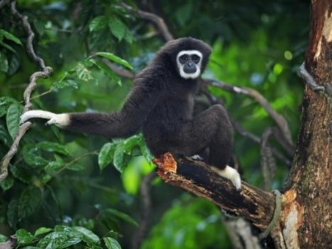 L'incroyable vocabulaire des singes décrypté | environnement et santé | Scoop.it